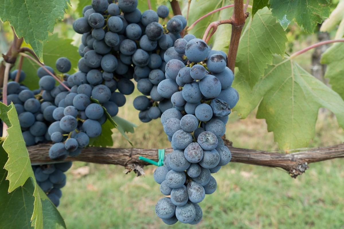 Wino czerwone Podkarpacie