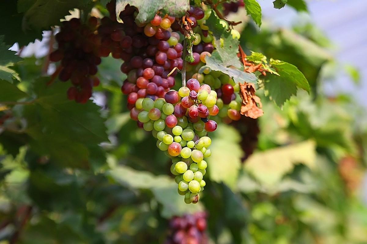 Winnica ekologiczna Podkarpacie