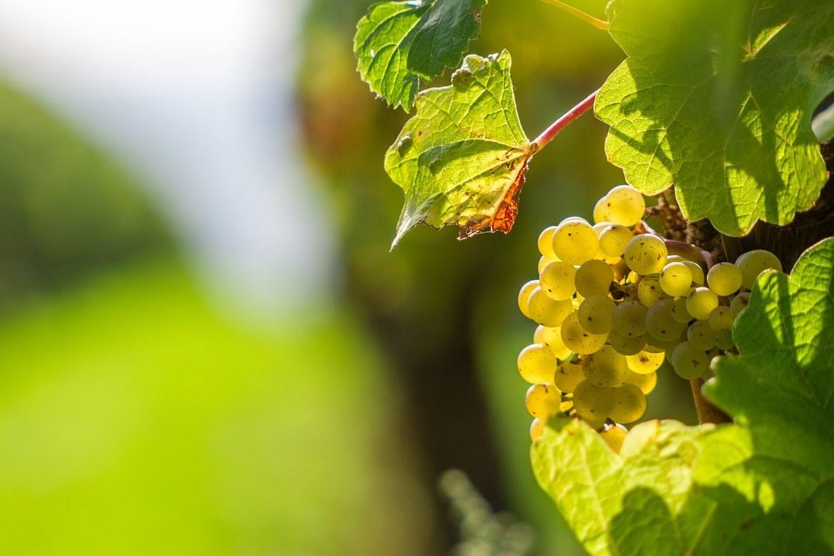 Podkarpackie winiarstwo