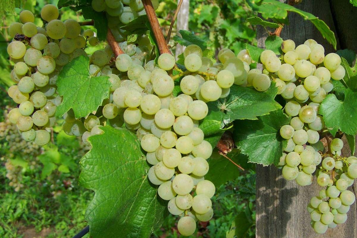 Uprawa winorośli na Podkarpaciu