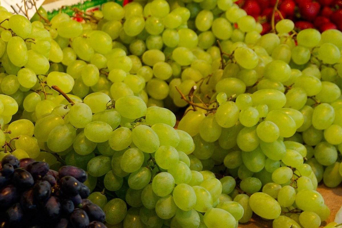 Uprawa winorośli Adalmina